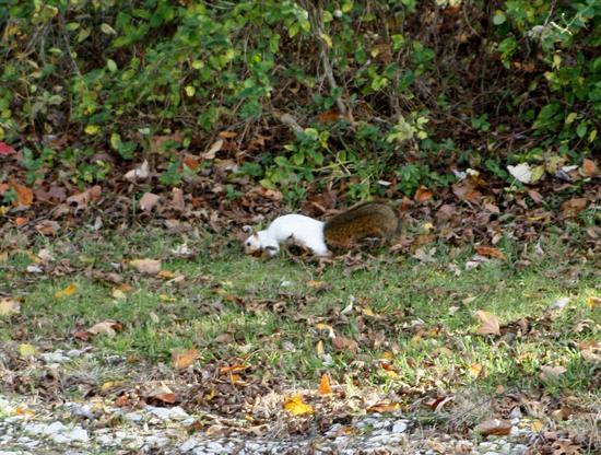 Patchwork squirrel